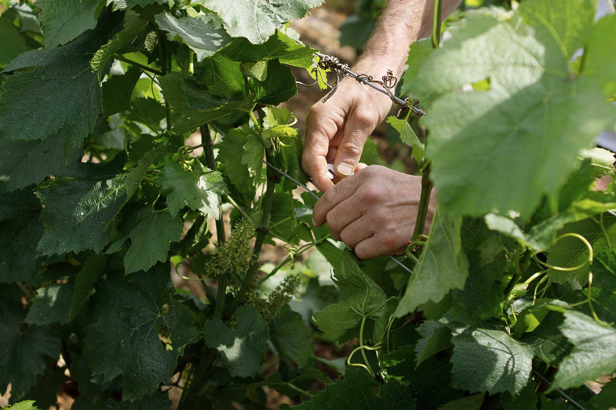 Vignes terroir mains artisan vigneron fuissé domaine thibert